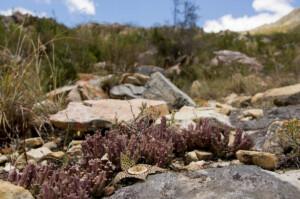 Orbea variegata (Apocynaceae) carrion flower
