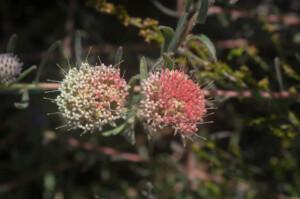 Leucospermum pedunculatum (Proteaceae) flowers