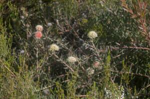 Leucospermum pedunculatum (Proteaceae) habit