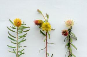 Comparison of Leucospermum pedunculatum, Leucospermum gracile and Leucospermum prostratum
