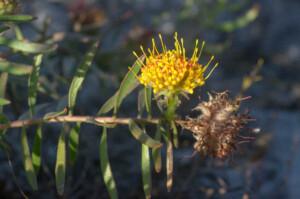 Leucospermum prostratum (Proteaceae) flower