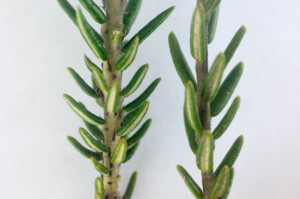 Tricocephalus stipularis and Phylica lasiocarpa stems compared