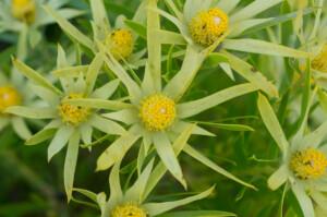 Leucadendron xanthoconus (Proteaceae) male flowers