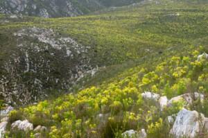 Leucadendron xanthoconus (Proteaceae) Sickle-leaf Conebush
