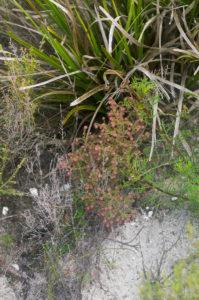 Erica paucifolia subsp. paucifolia (Ericaceae) habit