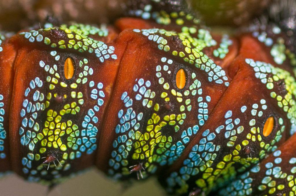 Pine Emperor moth caterpillar (Nudaurelia cytherea) close-up