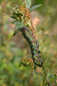 Pine Emperor moth caterpillar (Nudaurelia cytherea) on Searsia angustifolia