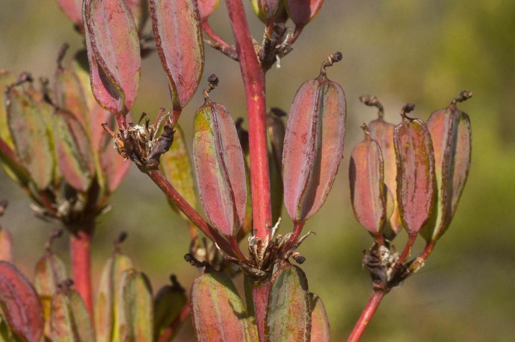 Aristea bakeri (Iridaceae) seedheads