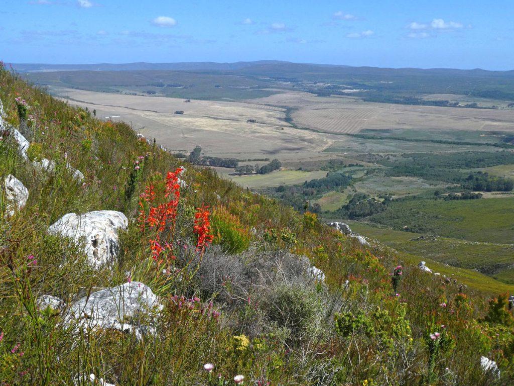 Watsonia schlechteri (Iridaceae) on mountainside