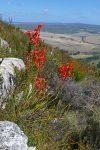 Watsonia schlechteri (Iridaceae)
