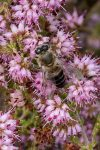 Erica ericoides (Ericaceae) with honey bee (Apis mellifera)