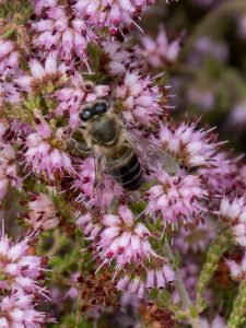 Erica ericoides (Ericaceae) with honey bee