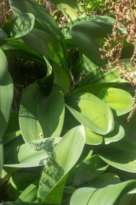Haemanthus coccineus (Amaryllidaceae) leaves