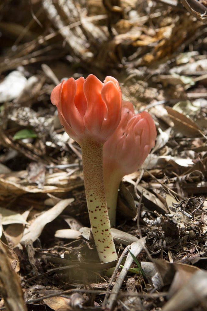 Haemanthus coccineus (Amaryllidaceae) spotted stem