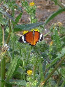 African Monarch - Danaus chrysippus