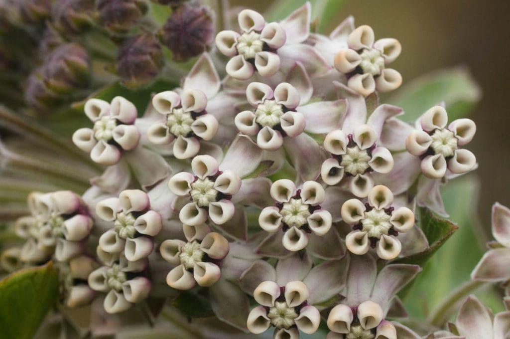 Gomphocarpus cancellatus (Apocynaceae) flowerhead