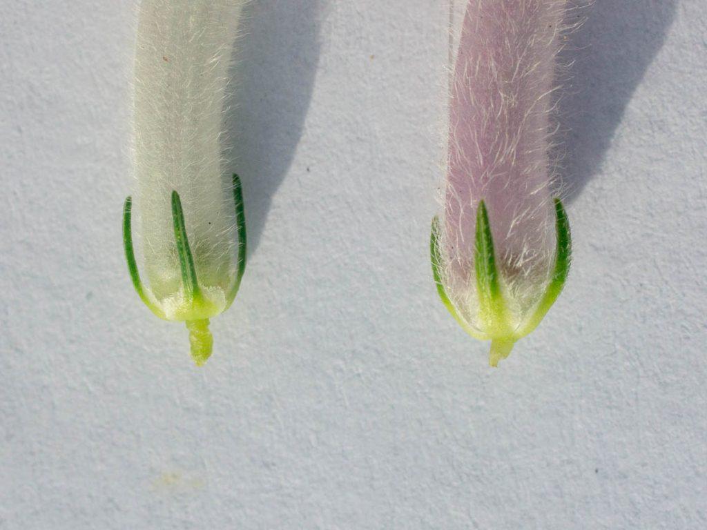 Comparison between Erica perspicua subsp. latifolia and macowanii subsp. lanceolata calyces