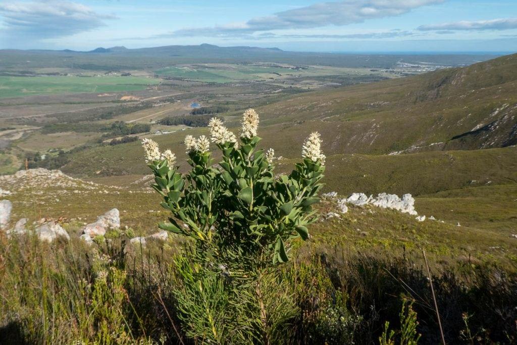 Paranomus sceptrum-gustavianus (Proteaceae) on the slopes of the Klein River Mountains