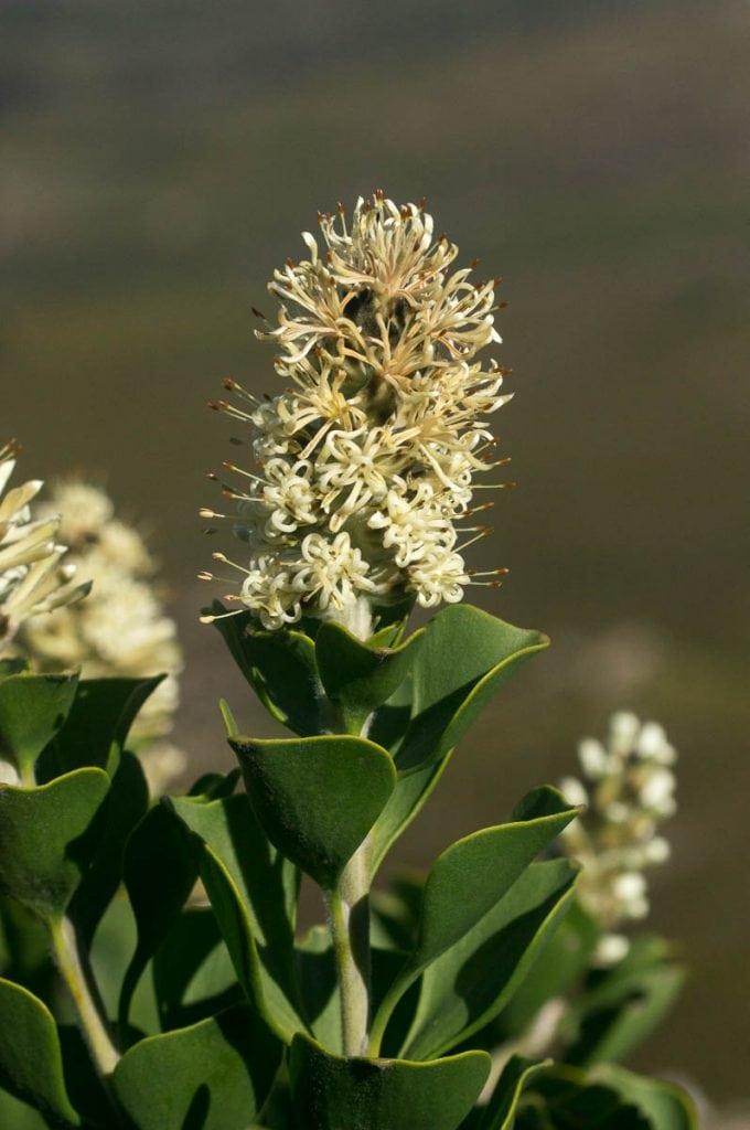 Paranomus sceptrum-gustavianus (Proteaceae) flowerhead