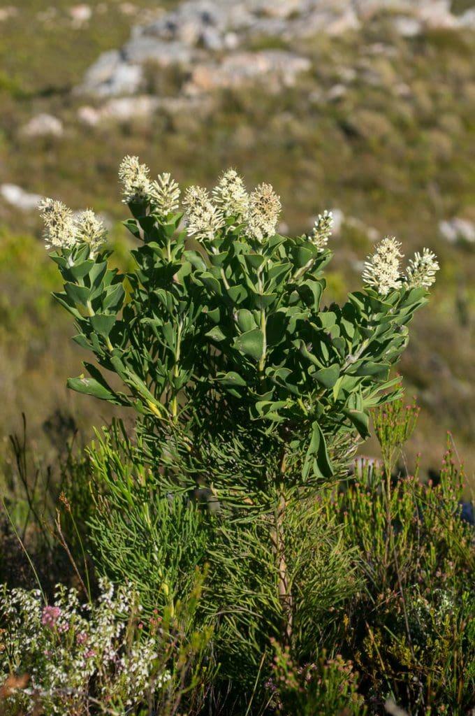 Paranomus sceptrum-gustavianus (Proteaceae) habit