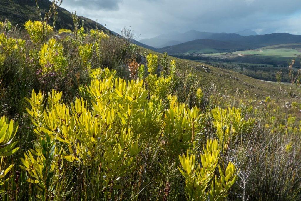 Leucadendron microcephalum (Proteaceae)
