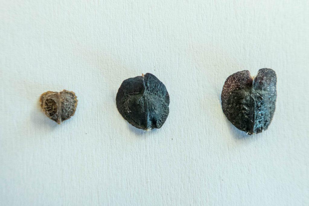 Leucadendron microcephalum, Leucadendron gandogeri and Leucadendron laureolum seeds (Proteaceae)