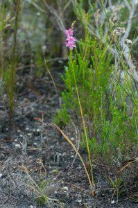 Ixia stricta (Iridaceae) habit
