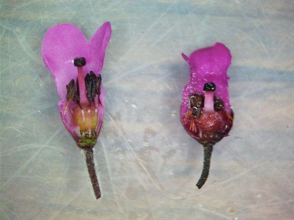 Erica longiaristata and Erica pulchella flowers in cross-section (Ericaceae)