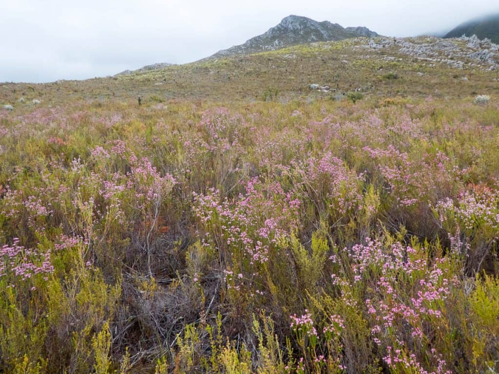 Erica corifolia in front of Phillipskop