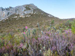 Saltera sarcocolla (Penaeaceae) habitat