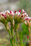 Crassula fascicularis (Crassulaceae)