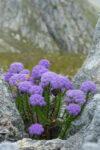 Pseudoselago pulchra (Scrophulariaceae) in rock crevice