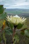 Protea cynaroides (Proteaceae) white flowered