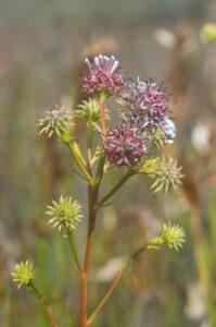 Serruria elongata (Proteaceae)
